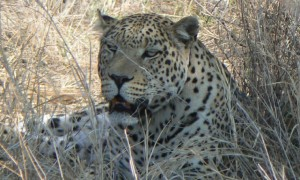 Namibia (Cheetah/Leopard) 2012